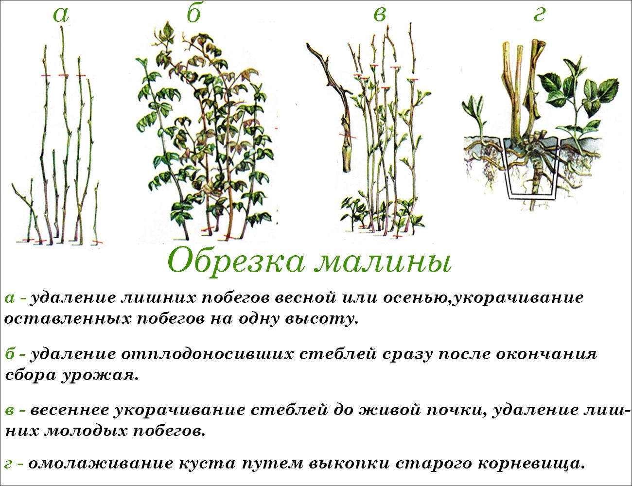 Обрезка ремонтантной малины весной и осенью