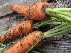 Технология посева моркови под зиму