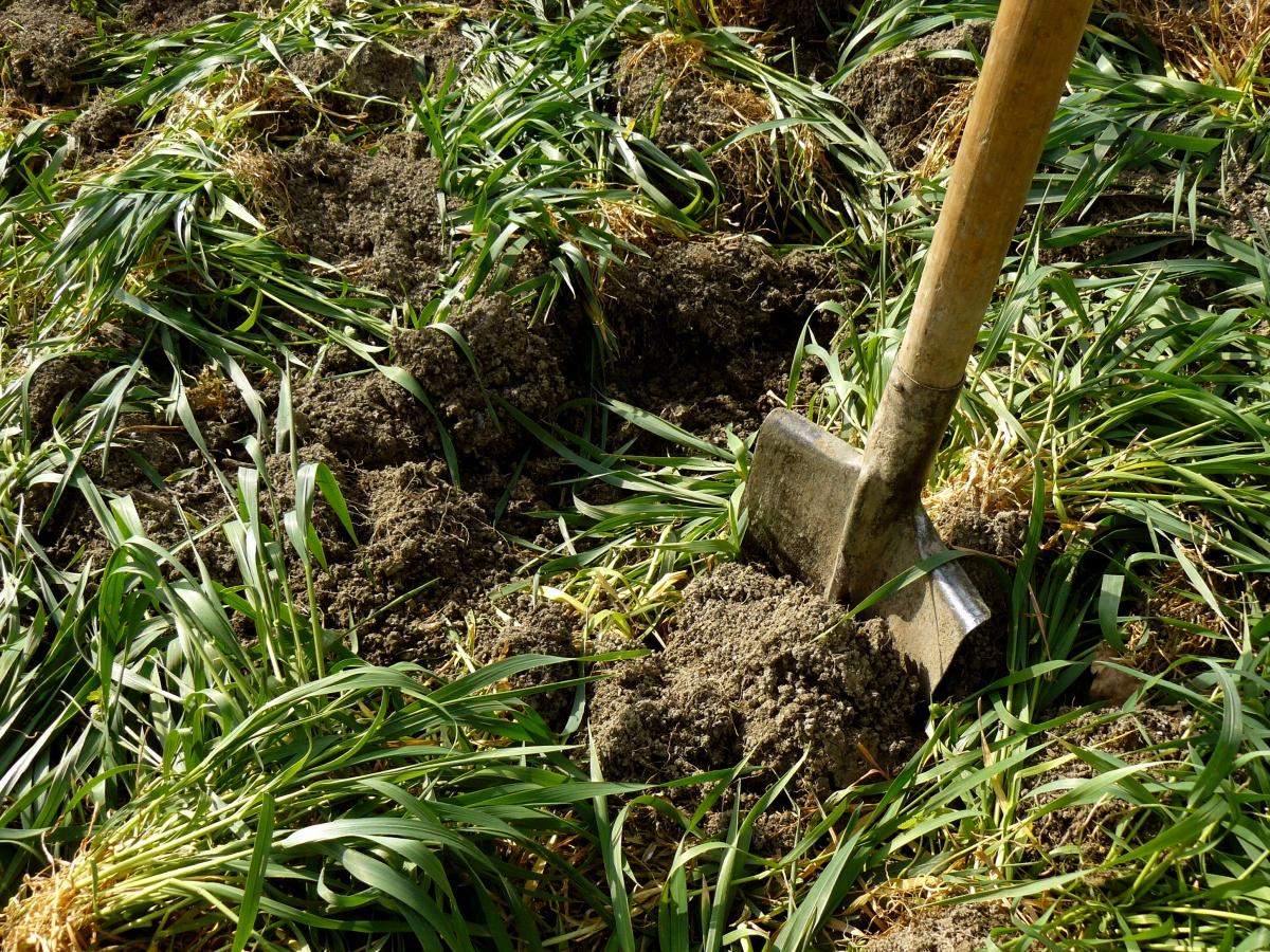сидераты когда сеять и когда закапывать (запахивать)