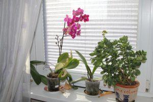 Орхидея у окна