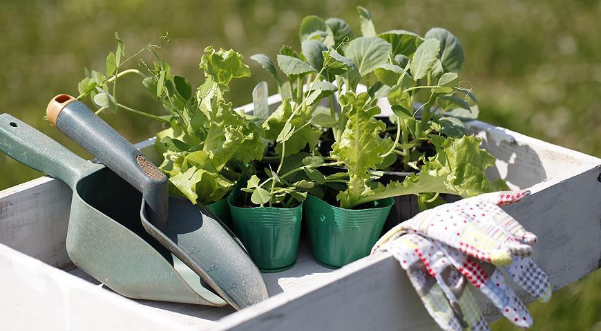 Как сажают цветную капусту на рассаду 84