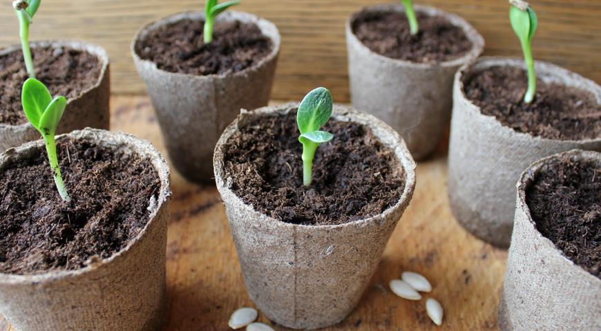 Выращивание огурцов: когда сеять рассаду для теплицы и парника 16