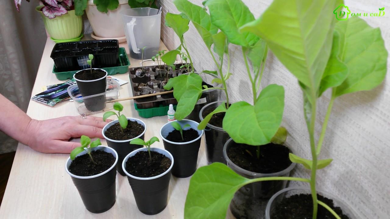 Баклажаны на рассаду. Когда и как правильно сеять и высаживать баклажаны в 2018 году по лунному календарю
