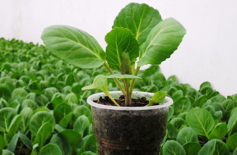 Как сажают цветную капусту на рассаду 15