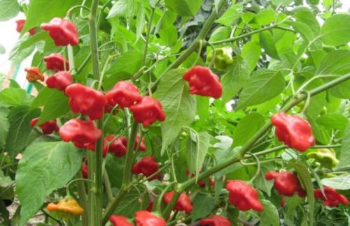Почему рекомендуется не употреблять в пищу семена горького перца