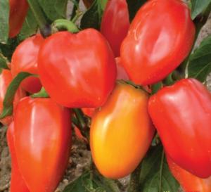 """Перец """"Винни-Пух"""": характеристика сорта и особенности выращивания"""