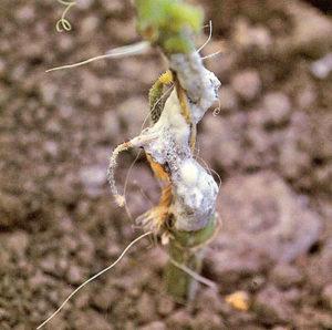 Белая гниль арбуза