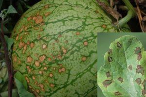 Секреты выращивания арбузов в теплице от опытных агрономов