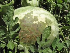 Бактериальная пятнистость арбуза
