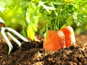 Благоприятные дни для посадки моркови весной и под зиму