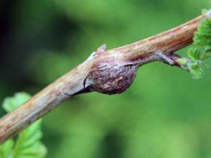 Рак стеблевой