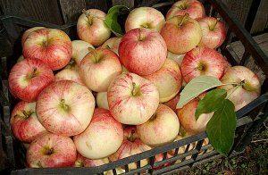 плоды яблони конфетное