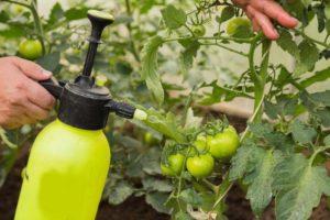Обработка кустов томатов от фитофторы
