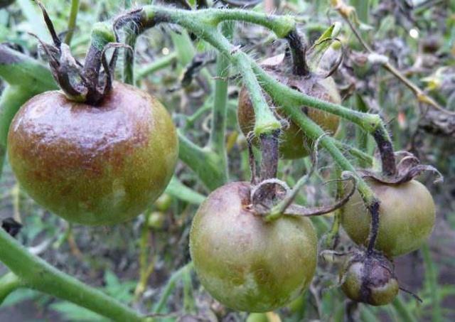 Черные томаты, пораженные фитофторой