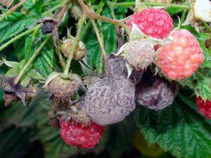 Вредители малины и борьба с ними