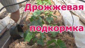 Дрожжевая подкормка огурцов
