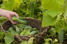 сбор урожая огурцов