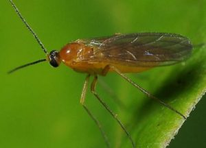 огуречный комарик