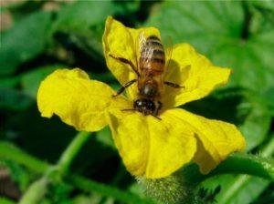 пчела опыляет огурцы
