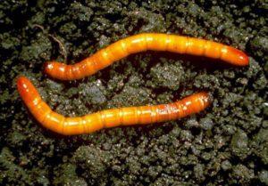 личинка жука
