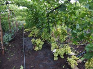 Уход за гроздьями винограда