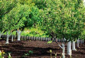 Посадка сливы осенью: когда и как посадить