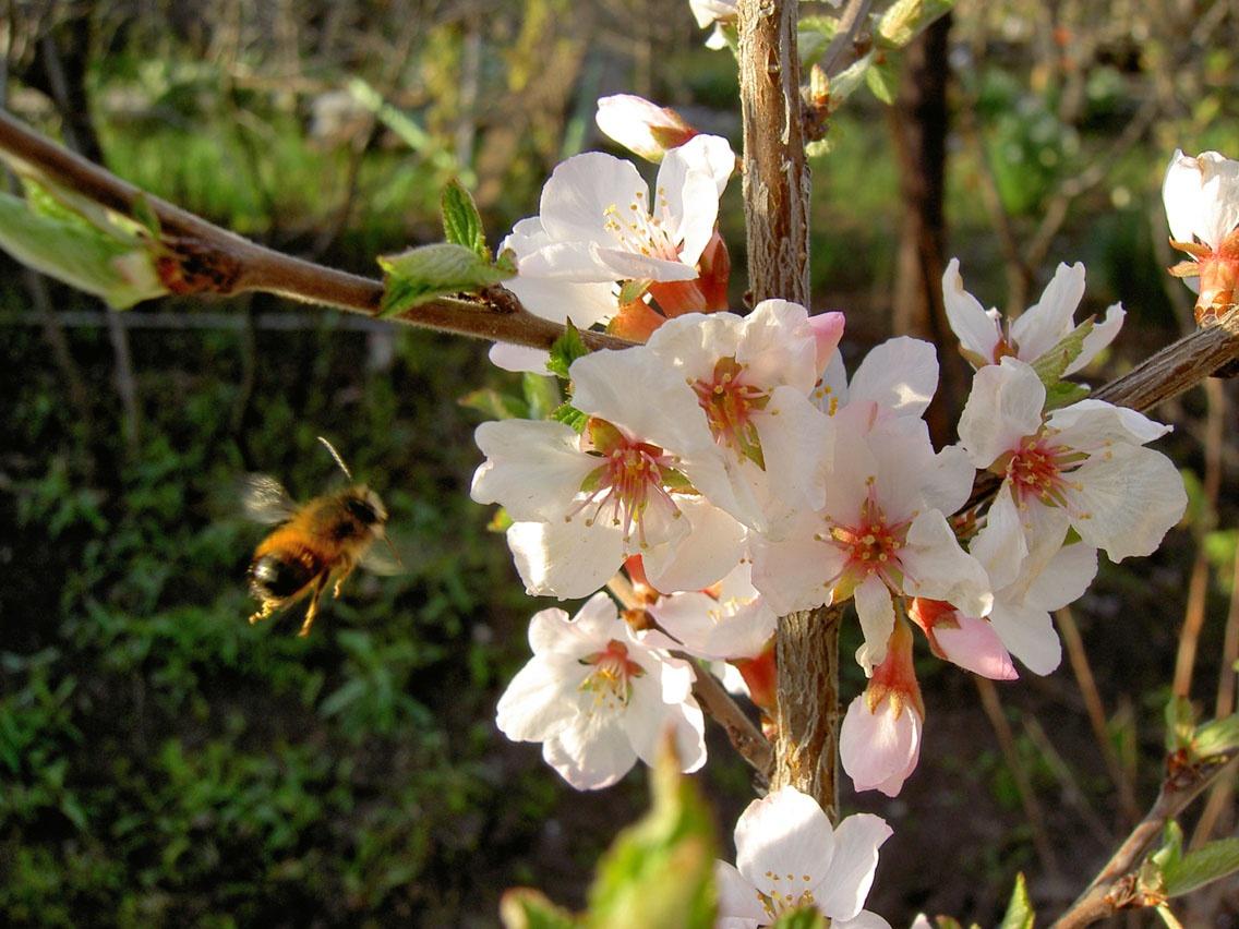 уход за сливой весной