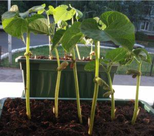 Фасоль Вигна: особенности выращивания сорта, описание и хранение урожая с фото
