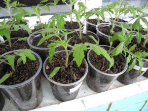 Посадочные дни для томатов в марте 2020 года