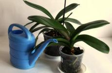 Способы полива орхидей