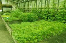 Выращивание петрушки в теплице