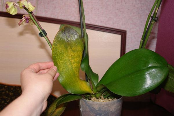 Лечение болезней орхидей