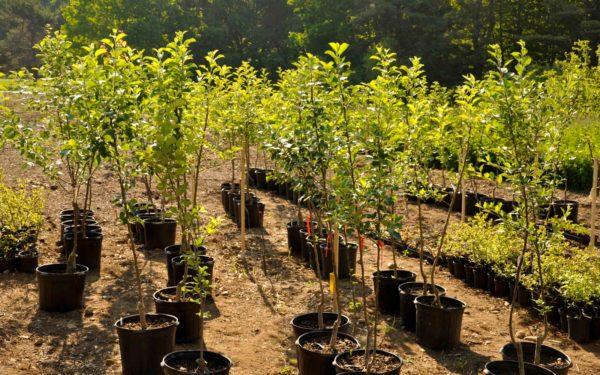плодово-ягодных деревьев