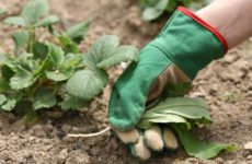 Как ухаживать за клубникой, после сбора урожая