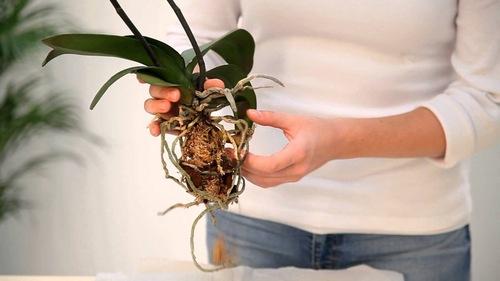 Стимуляция роста корней у орхидеи