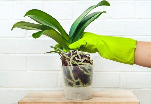 Укоренение орхидеи