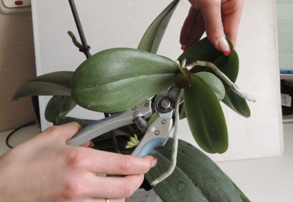 детка орхидеи как отделить