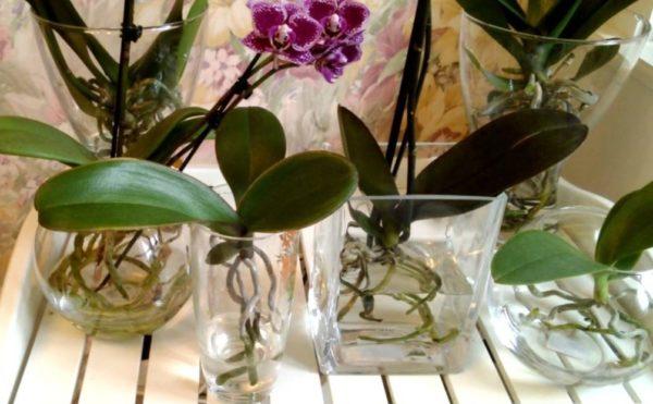 orhideja v vode