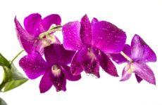 Орхидея Дендробиум Берри Ода