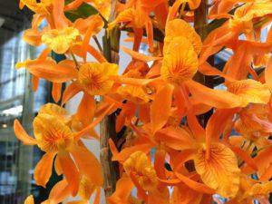 Орхидея Стардаст