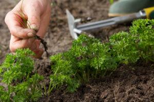 Выращивание укропа и петрушки в теплице зимой на продажу