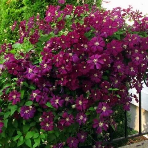 цветки с винным оттенком