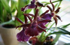 Орхидеи Камбрия