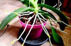 korni-orhidei