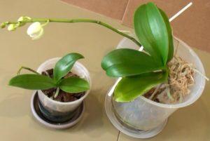 orhideja nachinaet cvesti