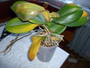 orhideja opadaut listja
