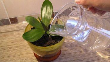 Чесночная вода для орхидей: как правильно приготовить