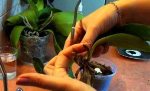 osmotr orhidei