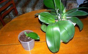 razmnozhenie orhidej