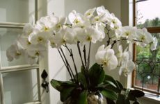 Как часто цветет орхидея